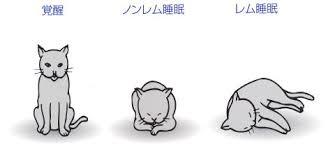 ノンレム睡眠とレム睡眠のときの寝る姿勢を示した図