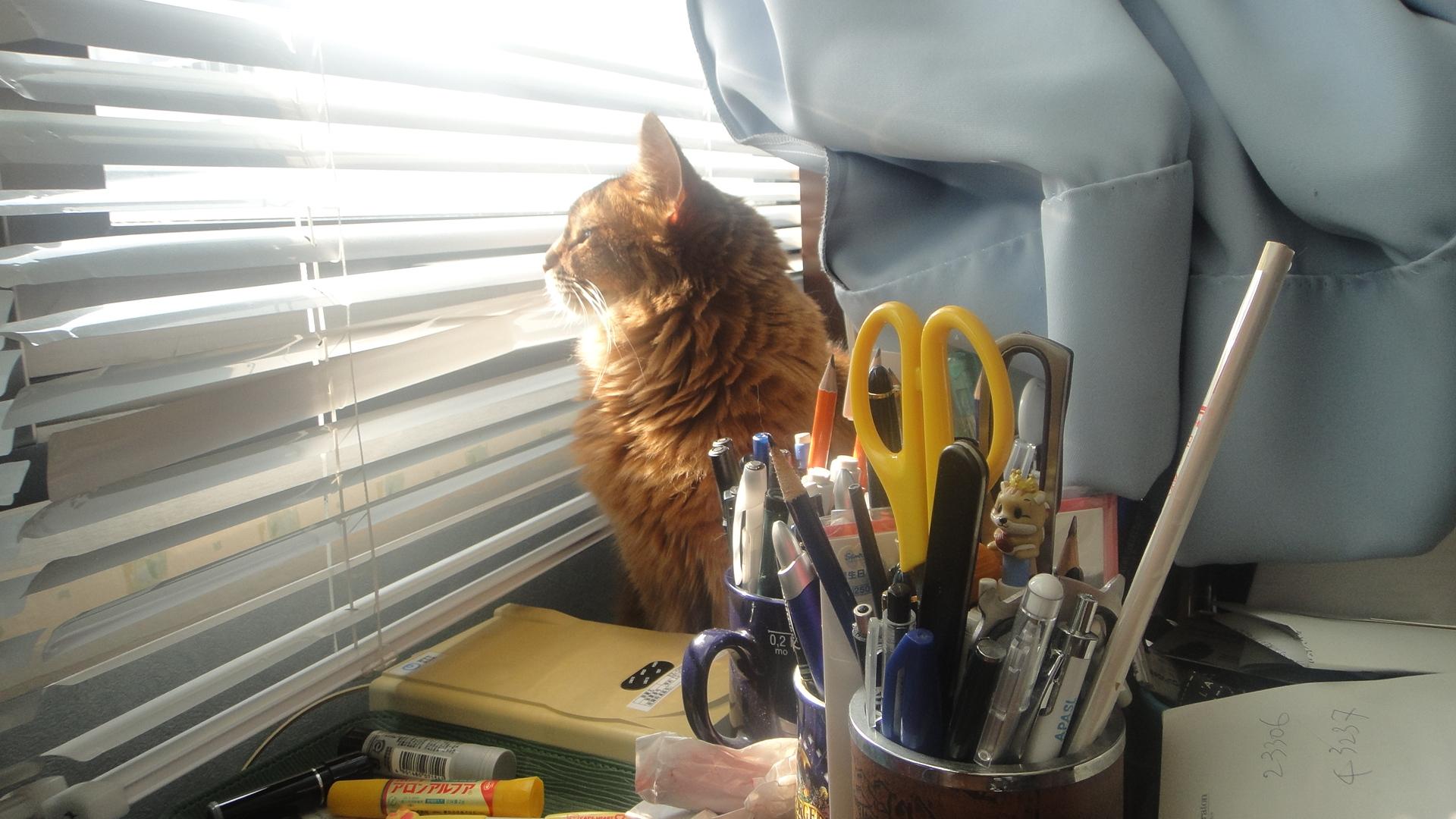 窓のブラインドの間からカカカッと威嚇するローズ
