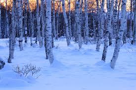 雪の白樺林の風景