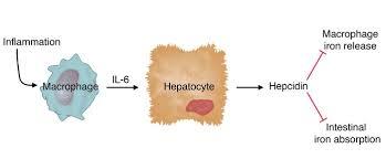 IL-6 ヘプシジンの貧血への影響を示した図
