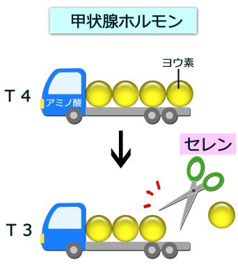 甲状腺ホルモン活性化酵素として働くことを示す図