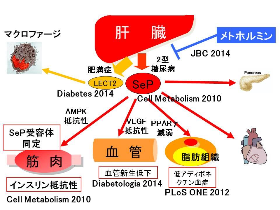 sep1のさまざまな作用をまとめた図