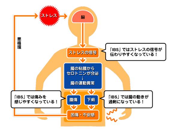 セロトニンが 過敏性腸症候群の症状発現に直接的に関与することを説明する図