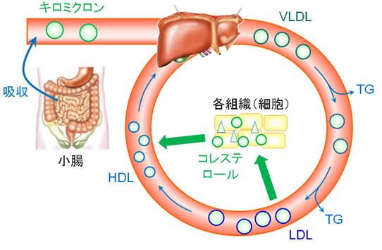 中性脂肪が高いとHDL-Cが低くなる機序を示す図