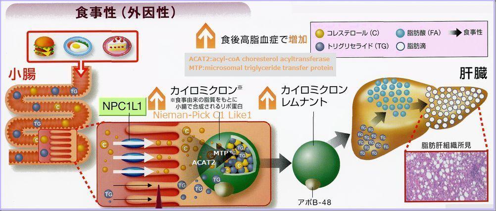 糖尿病ではカイロミクロンの合成も促進されることを示す図
