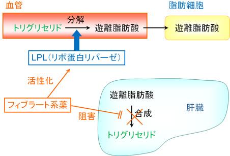 フィブラート系薬の作用機序を示す図