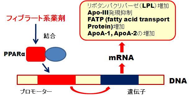 フィブラート製剤の核内受容体PPARα結合による遺伝子発現増強を示す図