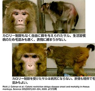 カロリー制限で長生きしている猿