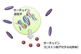 サーチュインタンパクはヒストン脱アセチル化酵素であることを示す図