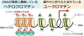 ヘテロクロマチン構造 ユークロマチン構造の差異を示す図