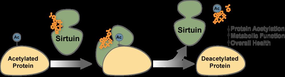 NADがサーチュインの脱アセチル化作用に必要であることを示す図