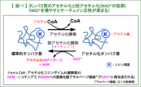 NADが増えるとサーチュインの活性が高まることを示す図