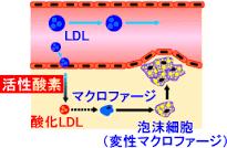 LDLが酸化される過程を示す図
