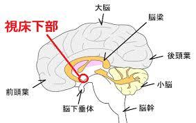 視床下部と脳幹部の位置関係を示す図