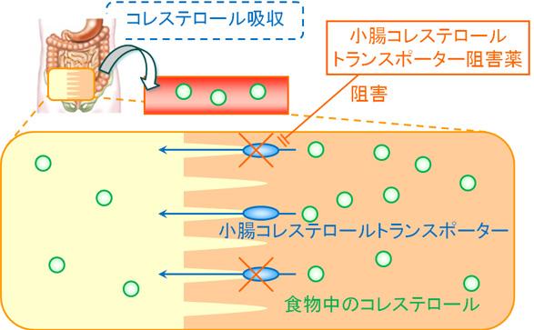 小腸コレステロールトランスポーター阻害剤の詳細な作用機序を示す図