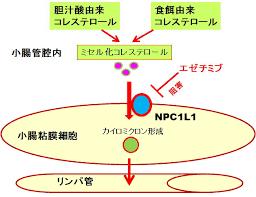 小腸コレステロールトランスポーター阻害剤の作用機序を示す図