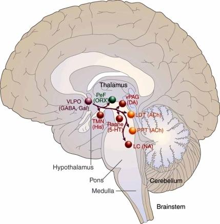 GABAによるモノアミン系 アセチルコリン抑制を示す図