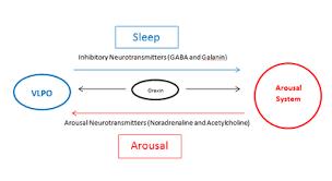睡眠と覚醒の交代現象が安定かつ効率的に行われていることを示す図