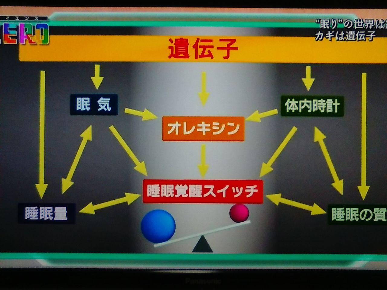 体内時計と睡眠負債 オレキシンがスイッチの切り替えを規定していることを示す図