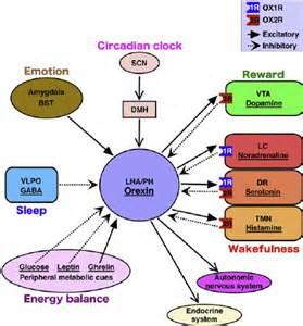 覚醒が必要なときにはオレキシンが働いて覚醒を維持・安定化させることを示す図