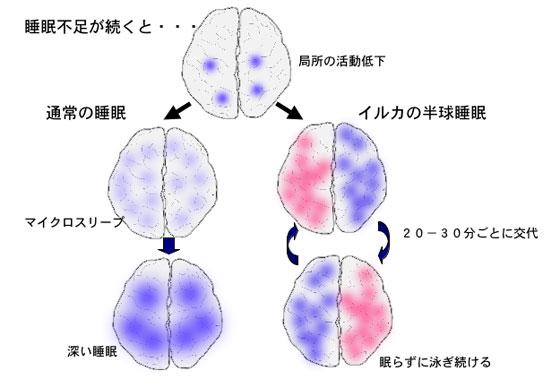 脳の右半分と左半分を 交互に寝かせながら泳いでいることを示す図