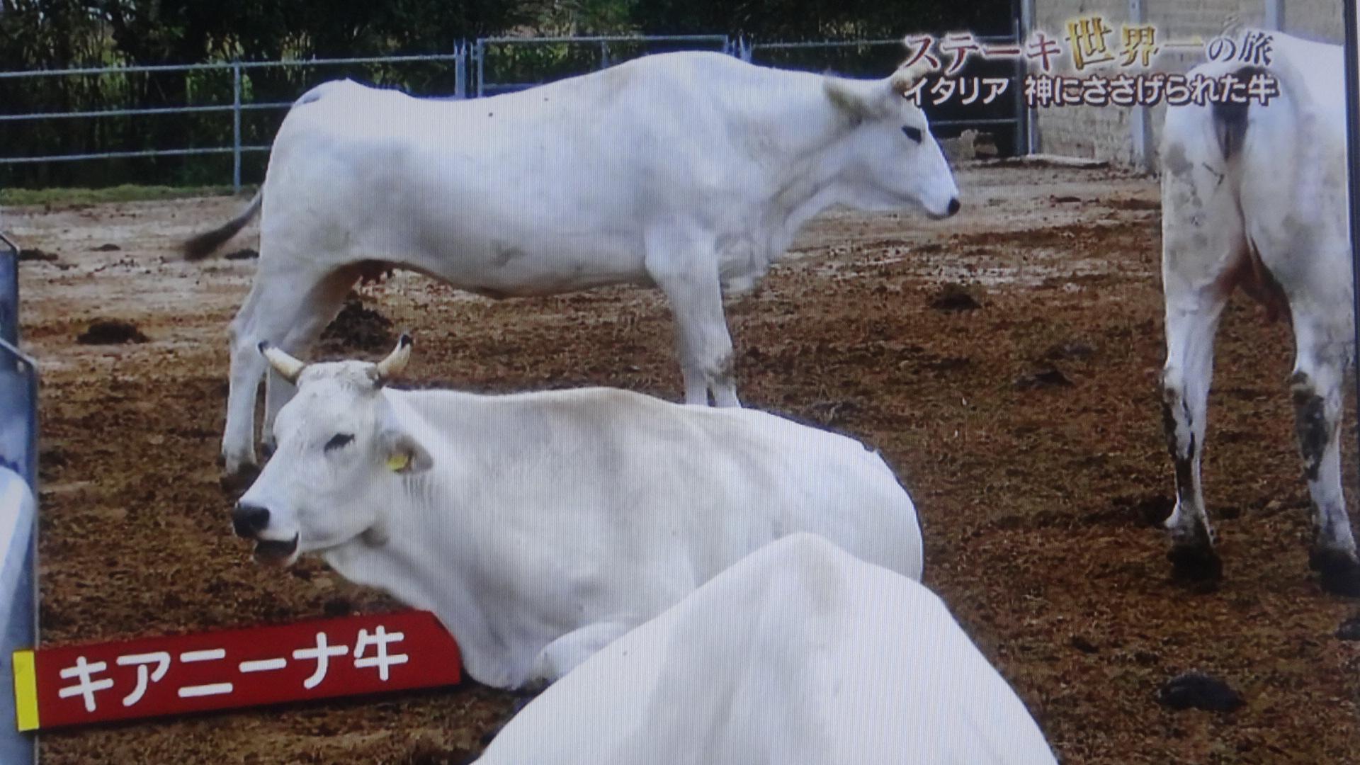白い純血種のキアニーナ牛の姿