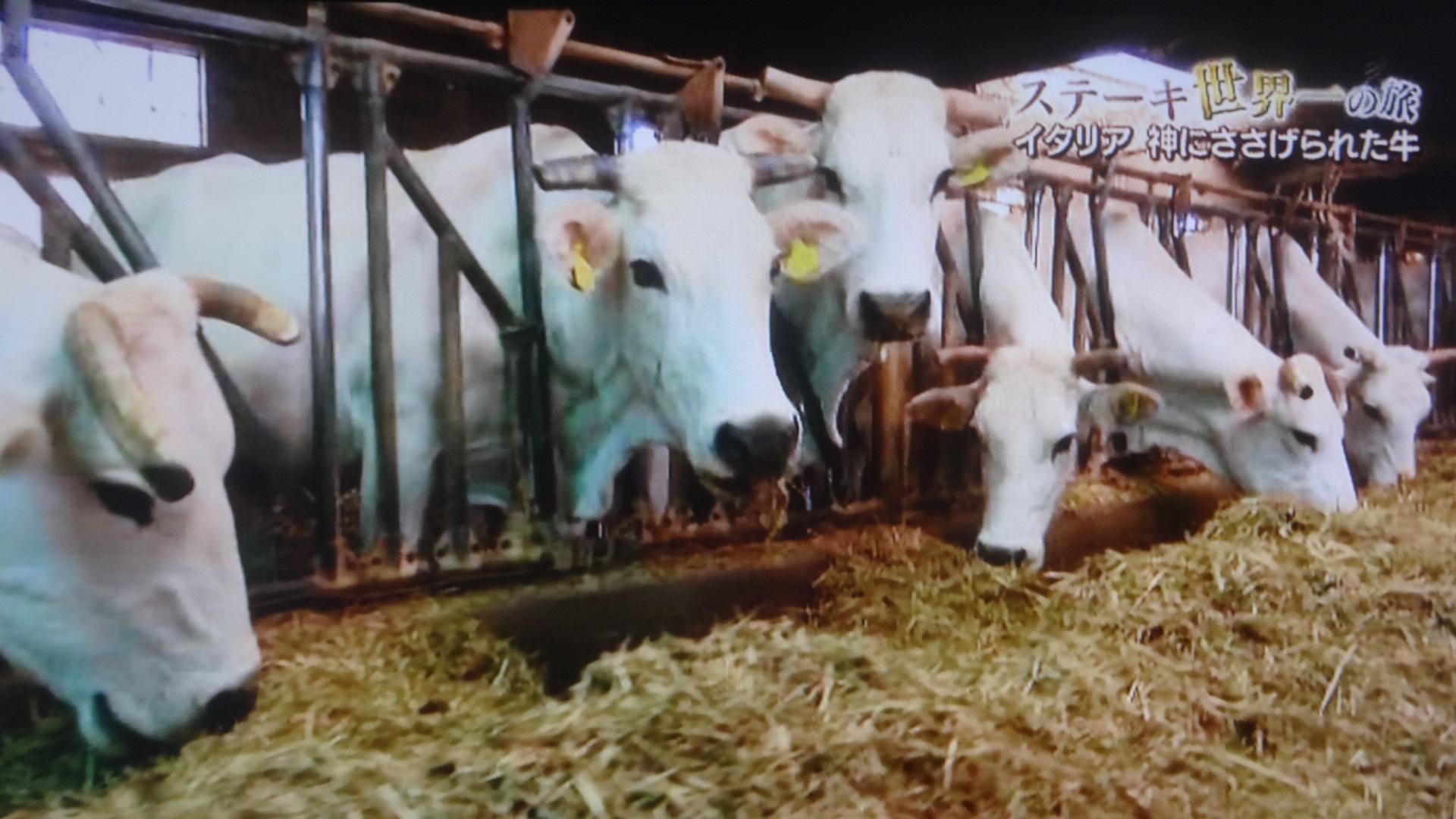 地元の牧草を食べるキアニーナ牛