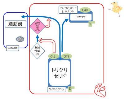 中性脂肪から脂肪酸が蓄積される様子