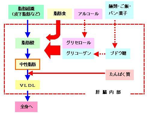 さまざまな栄養素から肝臓内で合成された中性脂肪がカイロミクロンとして全身を流れる過程の図示
