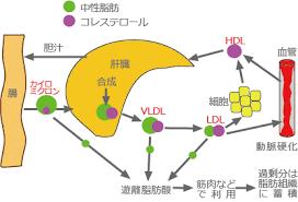 VLDLがLDLに変化したり 内部の中性脂肪が脂肪組織に蓄積される過程を示した図