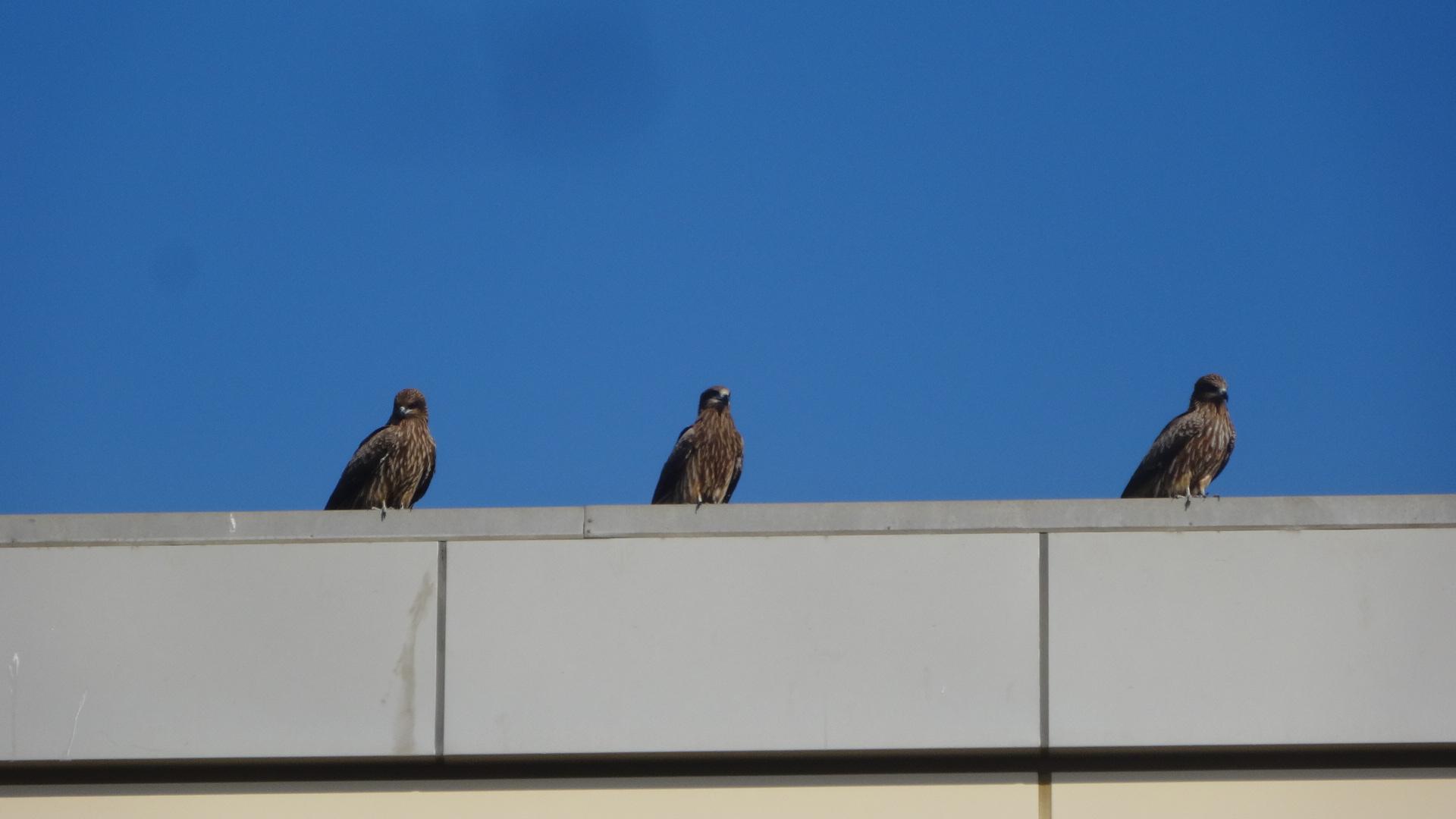 建物の上で羽を休めているトビ