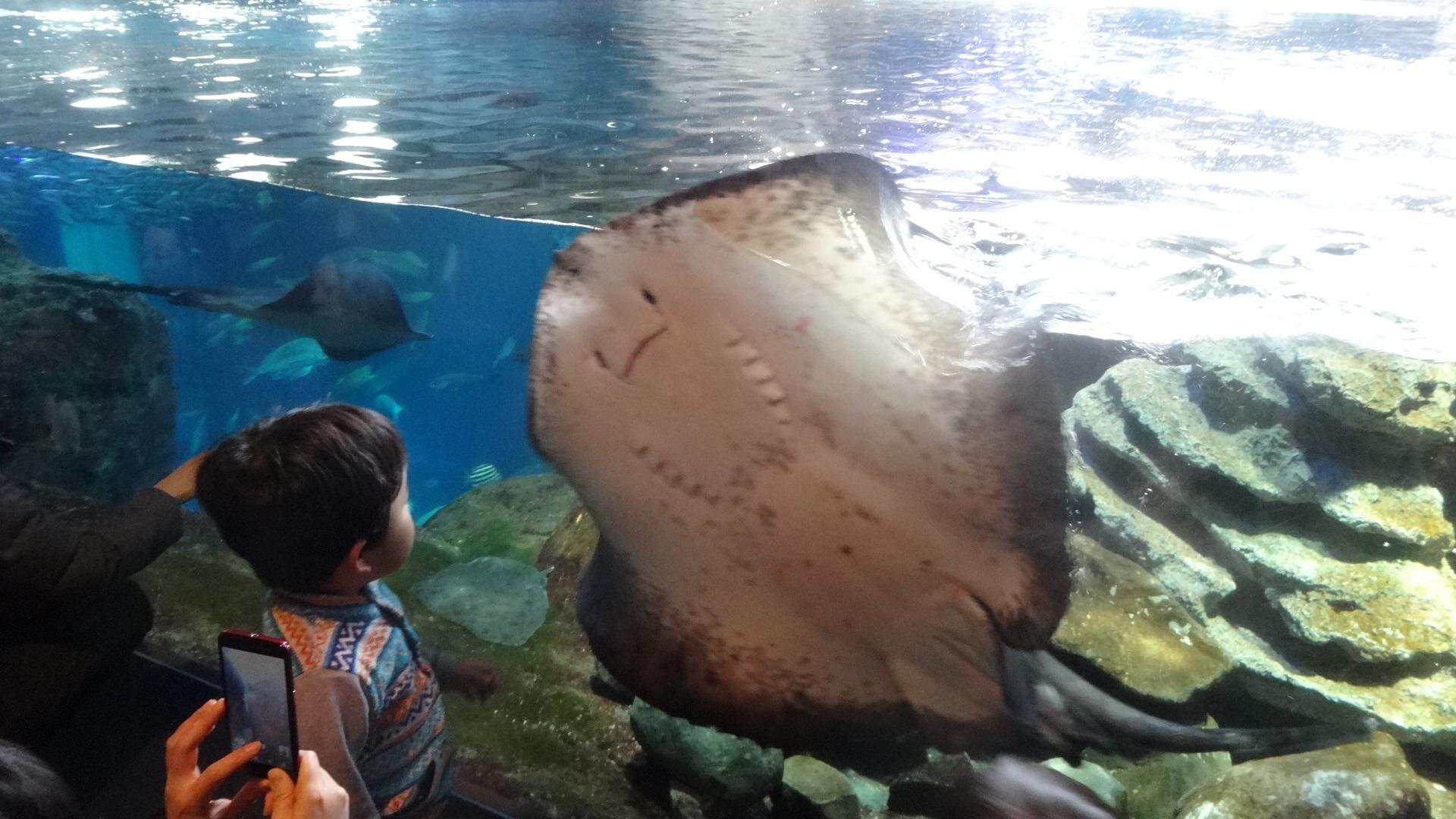 泳ぐ大きなエイとそれを見つめる子供