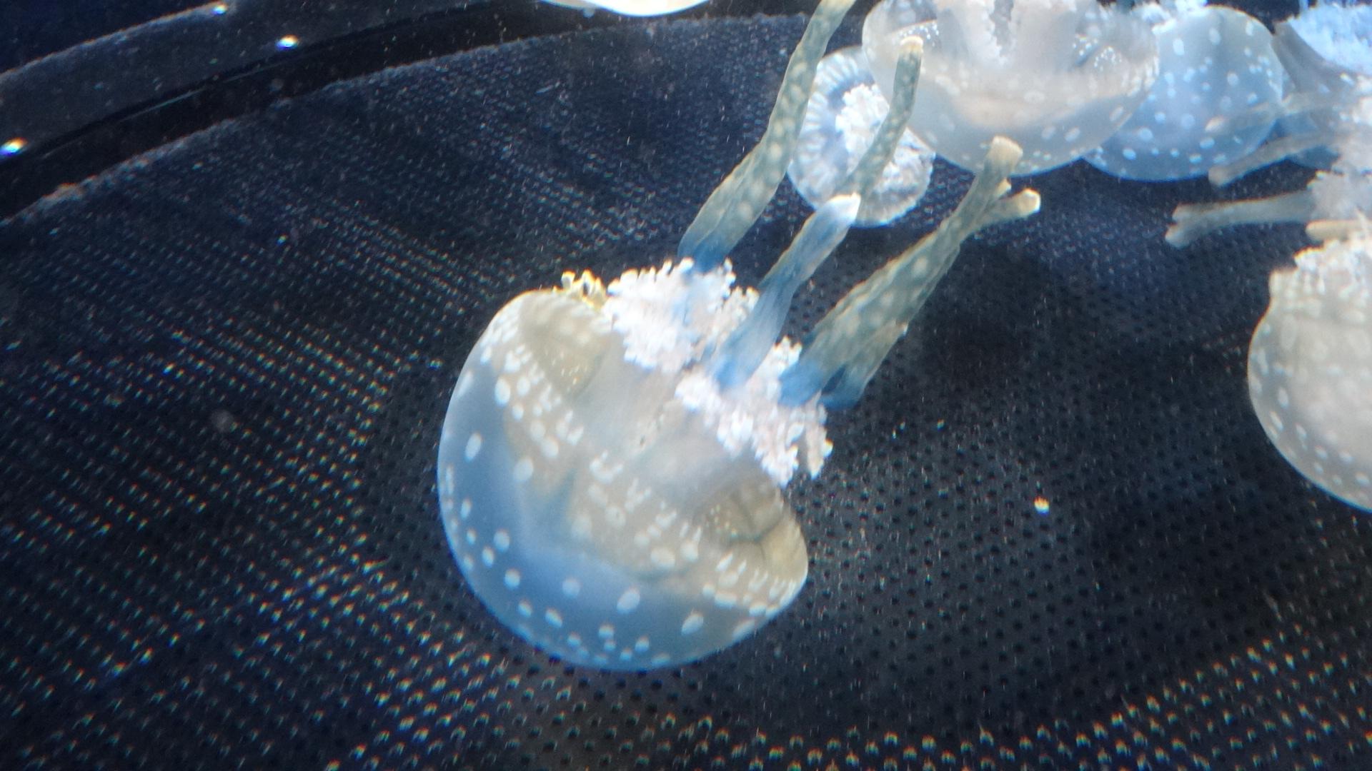 青色のクラゲ