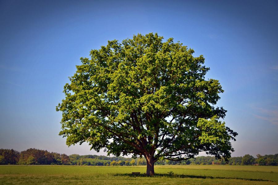 ドングリが生える木の写真