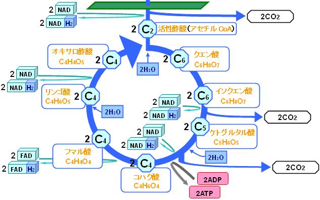 TCA回路における炭素数の変化を示す図