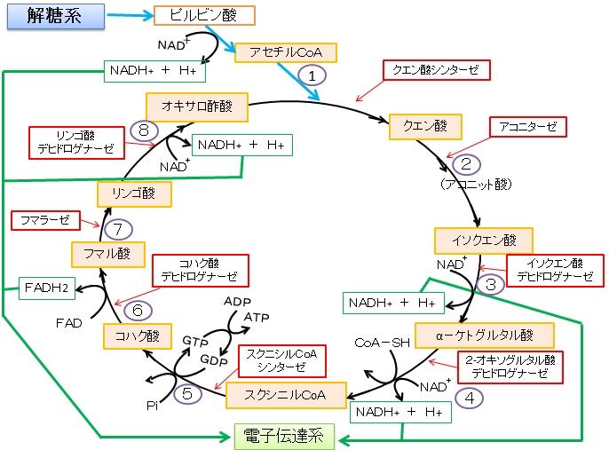 TCA回路でNADHができる過程を示す図