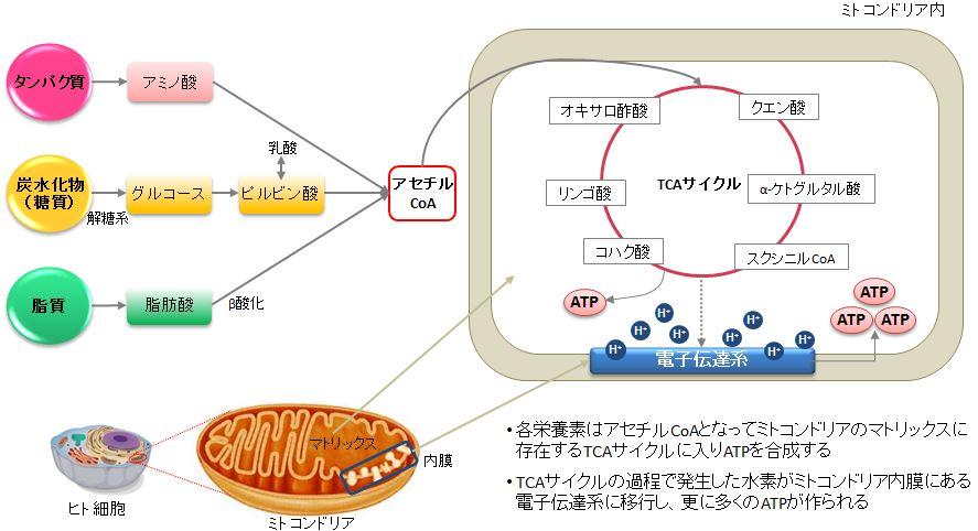 3大栄養素がアセチルCoAを経てTCA回路で代謝されるプロセスを示す図