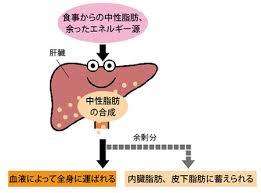 余ったエネルギーは中性脂肪として皮下脂肪 内臓脂肪に蓄えられることを示す図