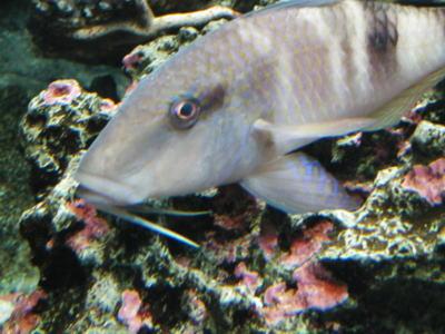 アゴ髭が伸びていて なんとなくおじさん顔な魚の写真