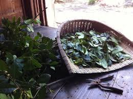 採取されたばかりの染色の材料となる植物