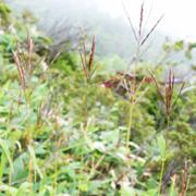 刈安という植物
