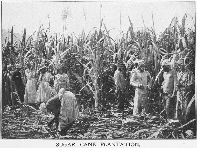 サトウキビ畑で収穫する人たち