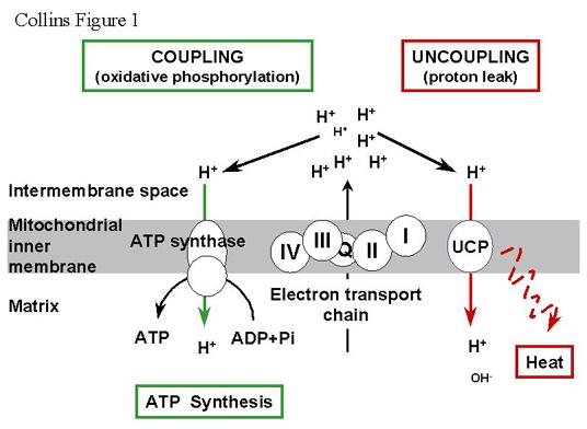 ucp1による脱共役のメカニズムを示した図