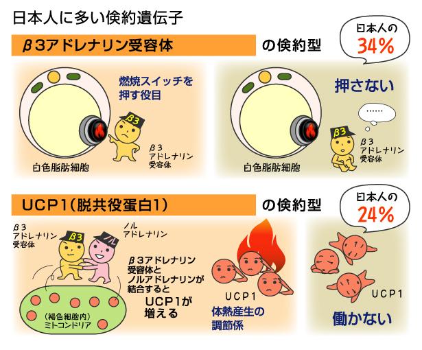 日本人に多いUCP-1も含めた倹約遺伝子をまとめた図