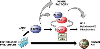 PGC-1によるUCP1の発現制御を示す図