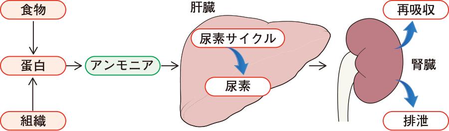 体内で尿素が作られる過程と腎臓からの排泄について説明した図