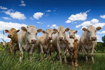 大草原で放牧される牛