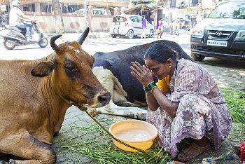 雌牛を拝むインド人