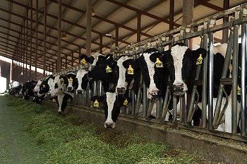 大規模に飼育されいる牛