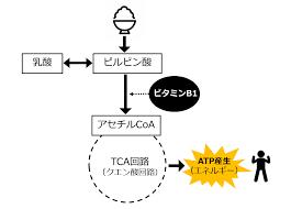 ピルビン酸のアセチルCoAに転換に作用することを示す図